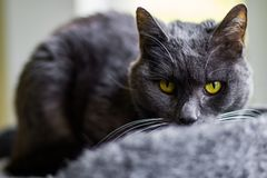 The gray cat with yellow eyes. The gray cat royalty free stock image