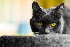 The gray cat with yellow eyes. The gray cat royalty free stock photography