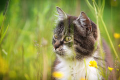 Gray cat with yellow eyes. Hunting in green high grass Stock Photos