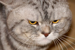 Gray cat with yellow eyes Royalty Free Stock Photos