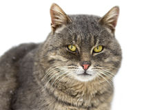 Gray cat. With yellow eyes Royalty Free Stock Photography