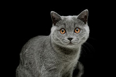 Gray cat with yellow eyes on a black background royalty free stock images