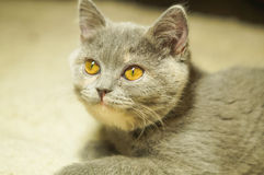 Gray cat with yellow eyes Stock Photos
