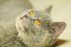 Gray cat with yellow eyes Stock Images