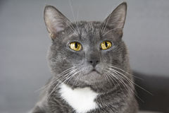 Gray cat with yellow eyes on a gray background Stock Photography