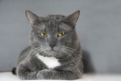 Gray cat with yellow eyes on a gray background Stock Image