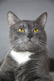 Gray cat with yellow eyes on a gray background Stock Photos