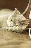 Gray cat with yellow eyes head Royalty Free Stock Photography
