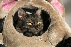 Gray cat with yellow eyes Royalty Free Stock Images