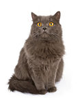 Gray cat with yellow eyes isolated on white Stock Photo