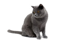 Gray cat with yellow eyes isolated on a white background Royalty Free Stock Images