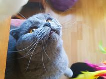 Gray cat with yellow eyes looking up. Portrait royalty free stock image