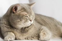 Gray cat with yellow eyes. Lying on the table Stock Photos