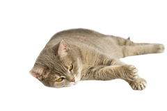 Gray cat with yellow eyes lying. On the table Royalty Free Stock Photo