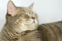 Gray cat with yellow eyes. Lying on the table Stock Images