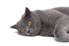 Gray cat with yellow eyes lying on white background Royalty Free Stock Photos