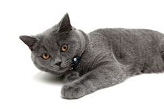 Gray cat with yellow eyes lying on white background Royalty Free Stock Photography