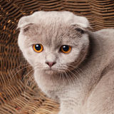 Gray cat with yellow eyes Scottish Fold Sits in a wooden basket Royalty Free Stock Photography
