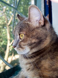 Gray cat with yellow eyes. Side view of a domestic gray cat with yellowed eyes closeup Stock Images
