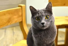 Gray cat with yellow eyes. Sits on a chair, close-up royalty free stock photos