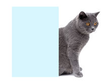 Gray cat with yellow eyes sitting around the banner Stock Image