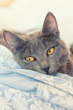Gray cat with yellow eyes Stock Photo