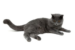 Gray cat with yellow eyes on a white background Royalty Free Stock Photography