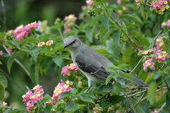 Gray Catbird. Perching on a tree branch Stock Photography