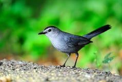 Gray Catbird. Feeding off the ground near bird feeders Royalty Free Stock Image