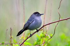 Gray Catbird. Sitting on tree branch Royalty Free Stock Photography