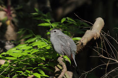 Gray Catbird Stock Photo