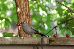 Gray Catbird. A gray catbird, Dumetella carolinensis, takes a grape Royalty Free Stock Photos