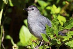 Gray Catbird Fotos de archivo