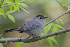Gray Catbird. (Dumetella carolinensis carolinensis) on branch Stock Photo