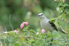 Gray Catbird. A gray catbird perches on a branch in kissimmee,florida Royalty Free Stock Photo