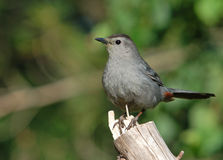 Gray Catbird. Photograph of a Gray Catbird perched on the end of a branch at the edge of a garden Royalty Free Stock Images
