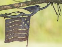 Gray Catbird with American Flag Royalty Free Stock Images