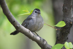 Gray Catbird on branch horizontal Royalty Free Stock Images