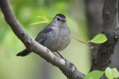 Gray Catbird on branch horizontal. Gray Catbird (Dumetella carolinensis carolinensis), sitting in a tree Royalty Free Stock Images