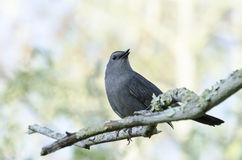 Gray Catbird on branch Royalty Free Stock Photo