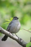 Gray Catbird on branch vertical. Gray Catbird (Dumetella carolinensis carolinensis), sitting in a tree Stock Images