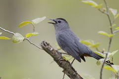 Gray Catbird Calling in Spring - Ontario, Canada Stock Photo