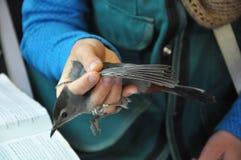 Gray Catbird che è esaminato per legare fotografie stock