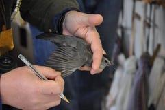 Gray Catbird che è esaminato per legare fotografia stock