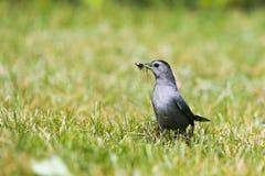 Gray Catbird. A gray catbird collecting nesting material in grass Stock Photography