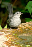 Gray Catbird Royalty Free Stock Photo