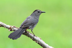 Gray Catbird Dumetella carolinensis. Gray Catbird (Dumetella carolinensis) on a branch Stock Photography