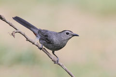 Gray Catbird Dumetella carolinensis. Gray Catbird (Dumetella carolinensis) on a branch Royalty Free Stock Photography