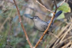 Gray Catbird (Dumetella carolinensis). In a tree at Fort DeSoto Park in St. Petersburg, Florida Stock Photo