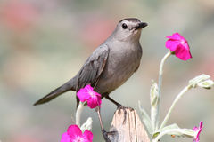 Gray Catbird (Dumetella carolinensis). On a fence with flowers Stock Photo